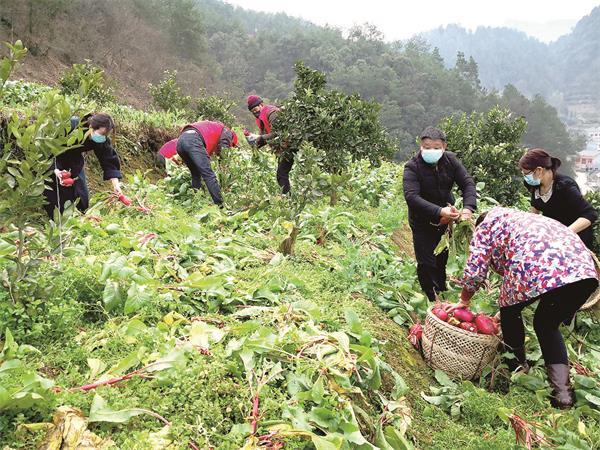 石门县政协委员采摘1万公斤生态